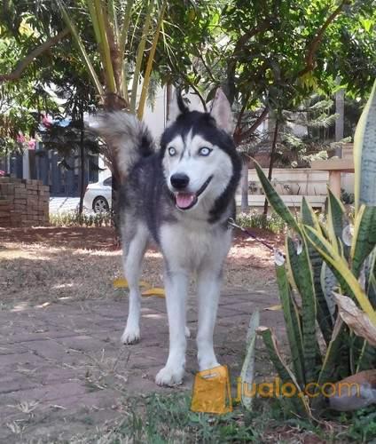 34++ Kandang anjing husky terupdate