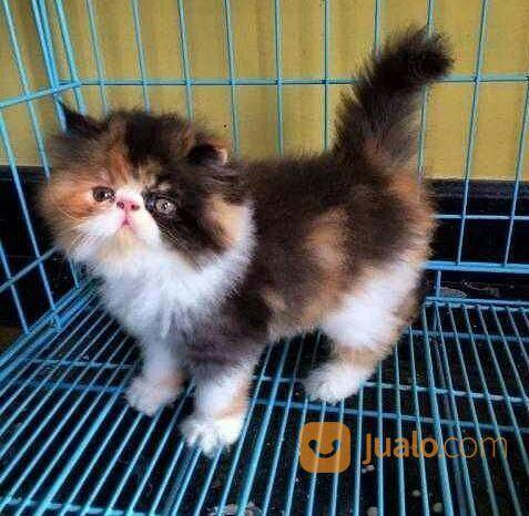 Download 61+  Gambar Kucing Anggora Umur 2 Bulan Paling Bagus