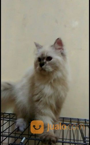 Download 80+  Gambar Kucing Persia Himalaya Terbaik Gratis