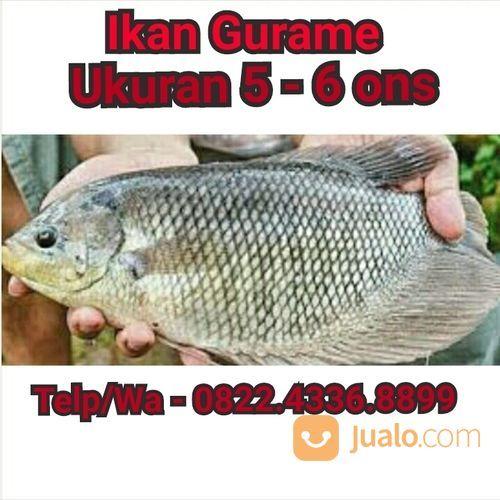 Unduh 75 Koleksi Gambar Ikan Gurame HD Terbaru