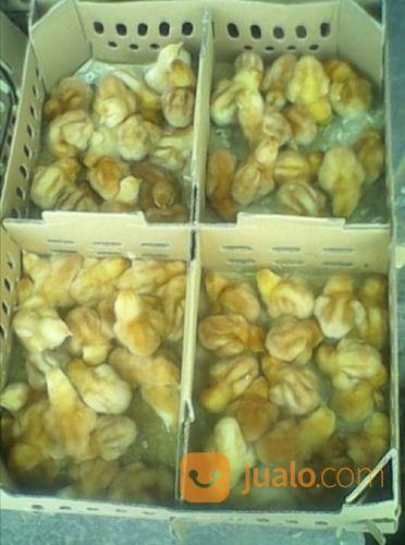 Doc bibit ayam petelu hewan lainnya 15703809