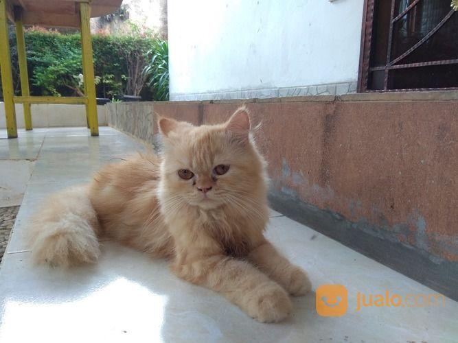 Unduh 93+  Gambar Kucing Anggora Coklat Paling Bagus Gratis