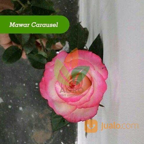 Bibit Bunga Mawar Carausel Kab Nganjuk Jualo
