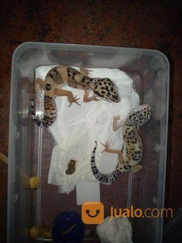Gecko Anakan Gecko