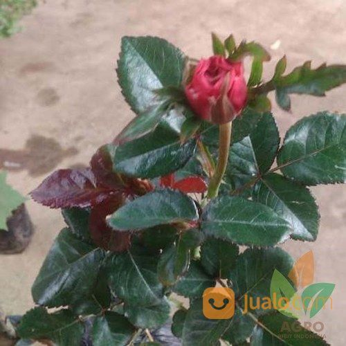 101+ Gambar Bunga Mawar Untuk Foto Profil Paling Keren