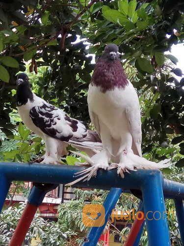 Download 55+ Foto Gambar Burung Merpati King  Paling Bagus