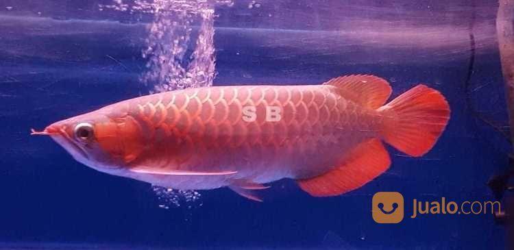 Arwana super red 37 c ikan 17268091