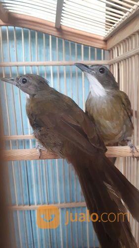 Terkeren 30 Gambar Burung Jenggot Gani Gambar