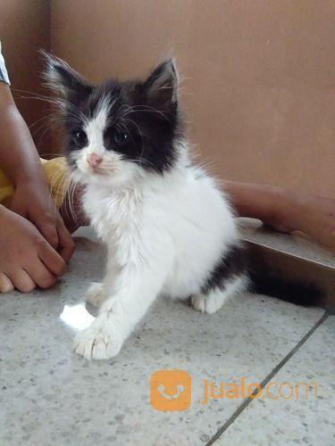 Anak kucing ras persi kucing 17822003