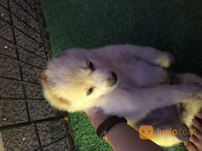 Puppies hachiko anjin anjing 17919443