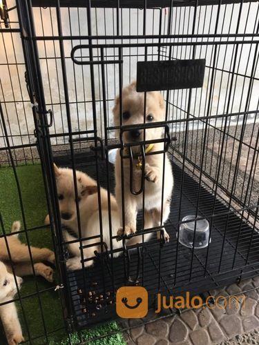Anjing puppies akita anjing 18005231