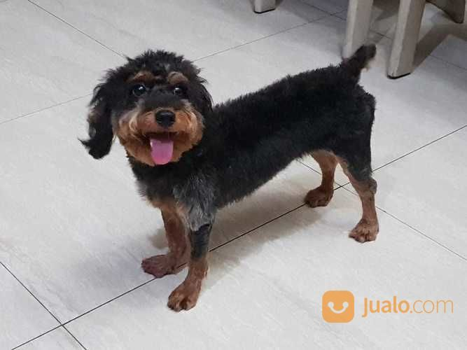 Anjing poodle non sta anjing 18036827