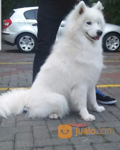 Samoyed bulan febuary anjing 18261127