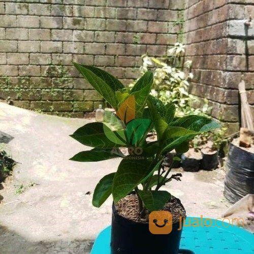 Terkeren 20+ Foto Bunga Melati Jepang - Gambar Bunga Indah