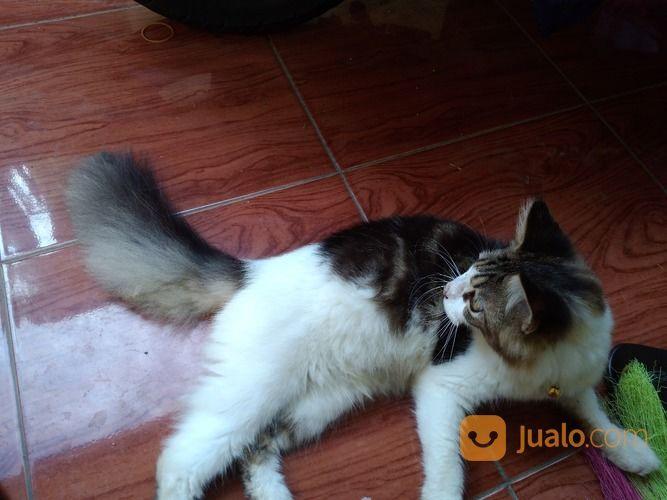 Download 98+  Gambar Kucing Anggora Lucu Foto Paling Lucu Gratis