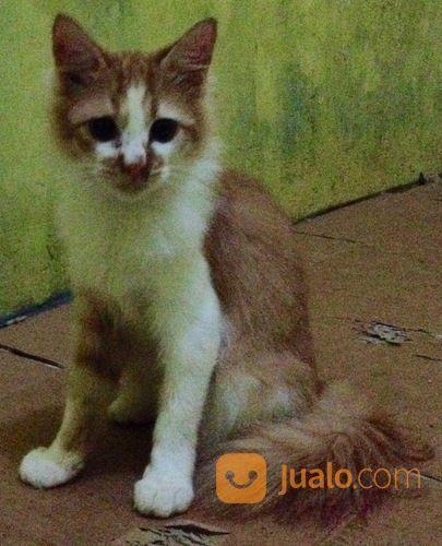 Download 96+  Gambar Kucing Anggora Umur 6 Bulan Terlihat Keren Gratis