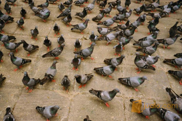 64  Gambar Burung Merpati Mudah  Paling Keren