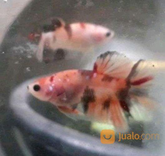 47 Gambar Ikan Cupang Koi Nemo Gratis Terbaik