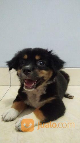 Baby anjing keturunan anjing 20017847