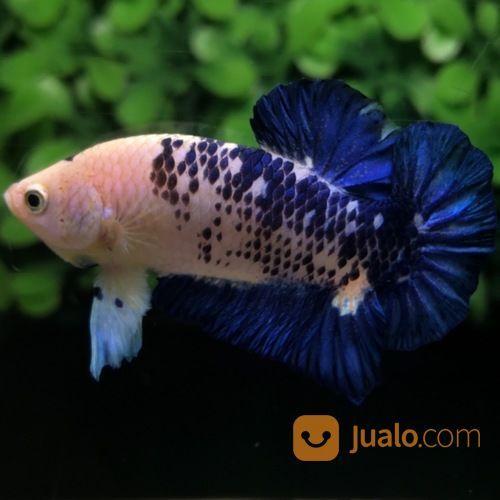 Ikan cupang hias plak ikan 20507443