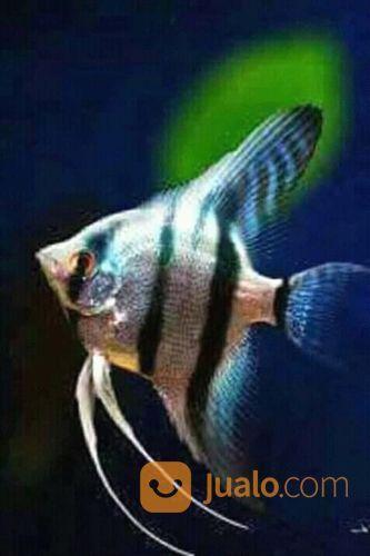Suplayer ikan hias jasa dan pekerjaan lainnya 20647419