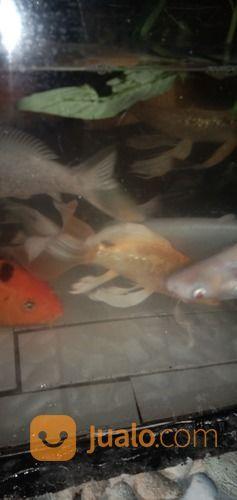 Ikan hias air tawar ikan 20764223