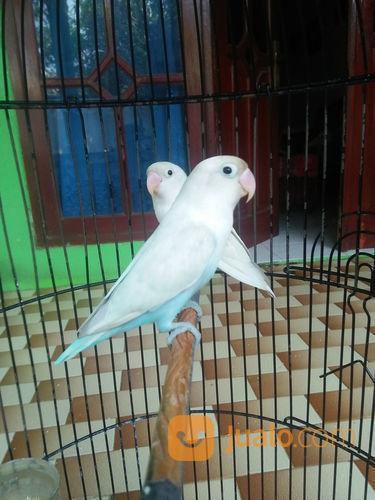 Download 88+ Foto Gambar Burung Lovebird Mocca  Terbaru