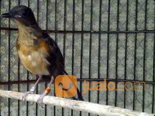 Anakan murai batu med burung dan unggas lainnya 21160415