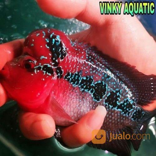 Louhan srd import ikan 21895503