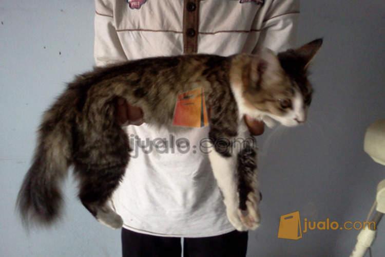 Download 87+  Gambar Kucing Persia Mix Lokal Terbaru Gratis