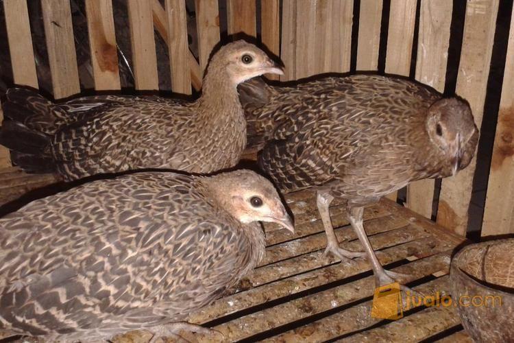 87+ Gambar Ayam Hutan Hijau Betina HD