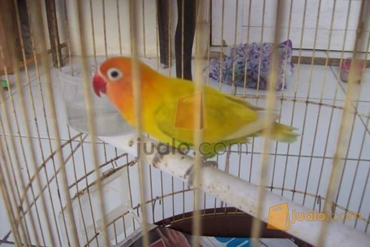 Download 80  Gambar Burung Lovebird Palamas HD  Gratis