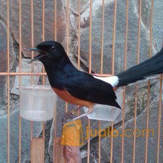 400 Gambar Burung Murai Irian Paling Baru Infobaru