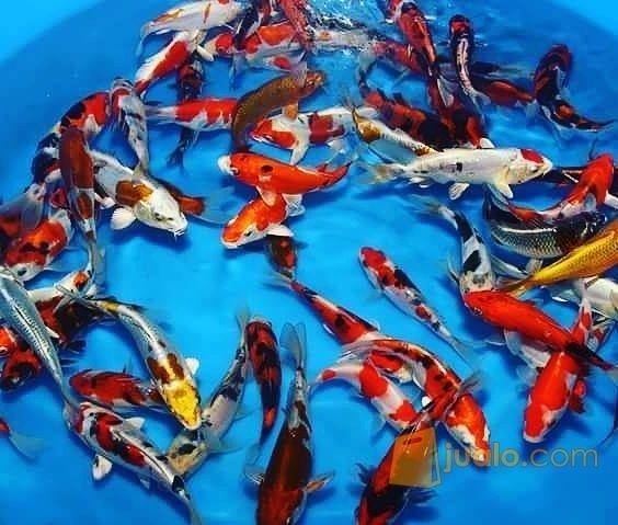Download 81 Gambar Ikan Koi Anakan HD Gratis