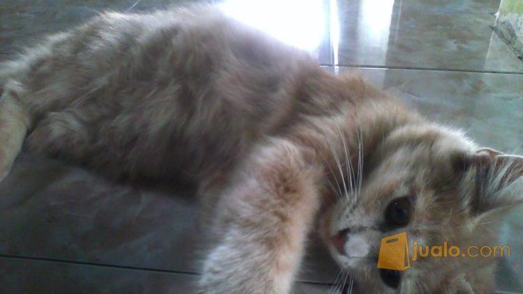 Download 92+  Gambar Kucing Anggora Umur 5 Bulan Paling Lucu HD