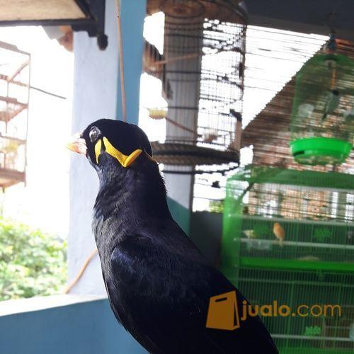 Unduh 100+  Gambar Burung Beo Betina HD Paling Unik
